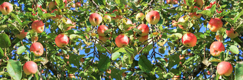 Harvesting fruits apples in orchard,panorama. Crop of red ripe apples on an apple-tree in garden. harvesting fruits apples in orchard,panorama. panoramic view royalty free stock photos