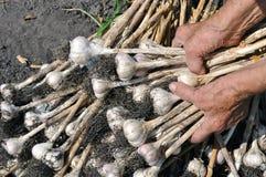 Harvesting garlic plantation. In the vegetable garden Stock Photo