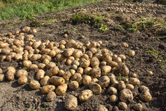Harvesting. good harvest of potatoes. The woman reaps potatoes crop. Royalty Free Stock Photo