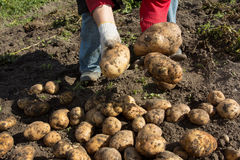 Harvesting. good harvest of potatoes. The woman reaps potatoes crop. Royalty Free Stock Photography