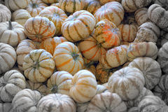 Harvesting the gourds Stock Images