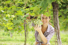 Harvesting the grape. Young woman harvesting prosecco white grapes in a vineyard Royalty Free Stock Images