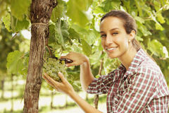 Harvesting the grape Stock Photos