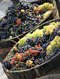 Harvesting grape Royalty Free Stock Images
