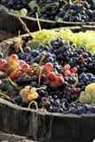 Harvesting grape Royalty Free Stock Photos