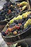 Harvesting grape royalty free stock image