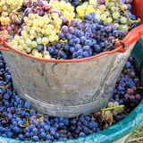 Harvesting grape. S: Ripe multi colored grapes inside buckets Stock Photos