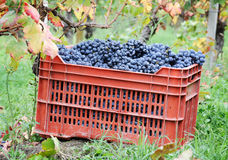 Harvesting grape Stock Images