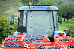Harvesting grape Stock Image
