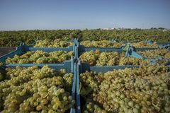 Harvesting the grape vines Stock Photos