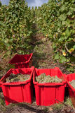 Harvesting grapes Stock Photography