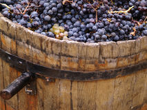 Harvesting grapes. Stock Images