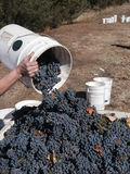 Harvesting grapes. Harvesting Cabernet grapes, picker pours grapes into larger crate Stock Photo