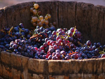Harvesting grapes. Stock Photography