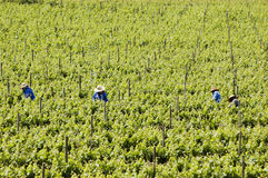 Harvesting grapes. A picture of a vineyard full of grapevines, and a few workers walking among the vines, harvesting grapes Royalty Free Stock Photo