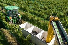Harvesting Grapes Royalty Free Stock Photos