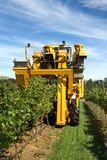 Harvesting Grapes stock image