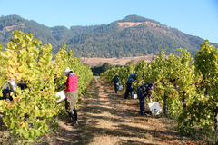Harvesting Grapes. Grapes being harvested in a vineyard row Stock Images