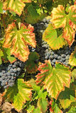 Harvesting grapes. Black grapes and colorful leaves Royalty Free Stock Photos