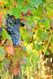 Harvesting grapes. Black grapes and colorful leaves Royalty Free Stock Images