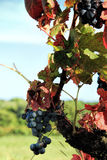 Harvesting grapes.  Black grapes and colorful leaves during autumn season Stock Photography