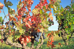 Harvesting grapes.  Black grapes and colorful leaves during autumn season Stock Images