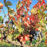 Harvesting grapes Royalty Free Stock Images