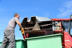 Harvesting of grapes royalty free stock images