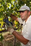 Harvesting of grapes in hand Royalty Free Stock Image