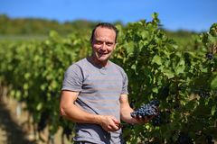 Harvesting of grapes. / Harvesting grapes by a combine harvester Stock Photo