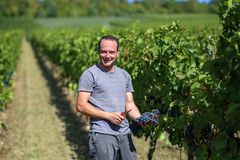 Harvesting of grapes. / Harvesting grapes by a combine harvester Stock Photography