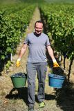 Harvesting of grapes. / Harvesting grapes by a combine harvester Royalty Free Stock Photo