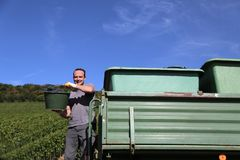 Harvesting of grapes. / Harvesting grapes by a combine harvester Royalty Free Stock Image