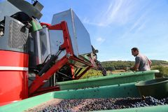 Harvesting of grapes. / Harvesting grapes by a combine harvester Stock Images
