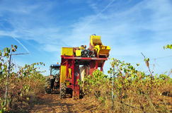 Harvesting the grapes on a mechanical way Stock Photos