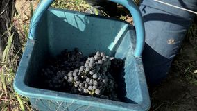 Harvesting of grapes one by one using a secateur. The grapes are deposited in baskets stock video footage