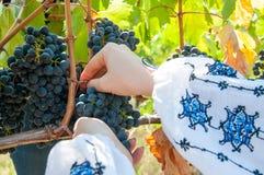 Harvesting grapes Royalty Free Stock Image