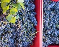 Harvesting grapes. Ripe grapes inside a red bucket. Chianti Region, Tuscany, Italy Stock Photos