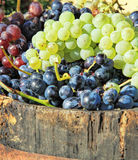 Harvesting grapes. Ripe grapes inside a bucket Stock Images