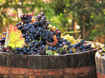 Harvesting grapes. Ripe grapes inside a bucket Stock Image