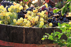 Harvesting grapes. Ripe grapes inside a bucket Royalty Free Stock Images