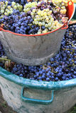 Harvesting grapes. Ripe multi colored grapes inside a bucket Stock Photo