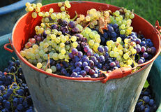 Harvesting grapes stock photos