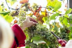 Harvesting grapes in the vineyard. Harvesting grapes in the vineyard royalty free stock photo