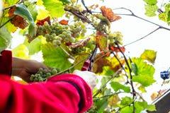 Harvesting grapes in the vineyard. Harvesting grapes in the vineyard stock image