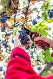 Harvesting grapes in the vineyard. Harvesting grapes in the vineyard royalty free stock photos