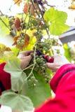 Harvesting grapes in the vineyard. Harvesting grapes in the vineyard royalty free stock images