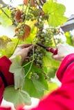 Harvesting grapes in the vineyard. Harvesting grapes in the vineyard royalty free stock image