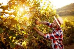 Harvesting grapes in vineyard. Harvesting grapes in autumn vineyard stock image