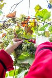 Harvesting grapes in the vineyard. Harvesting grapes in the vineyard royalty free stock photography